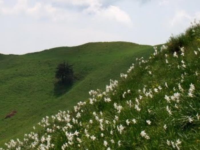 Poiana cu Narcise din Munții Baiului