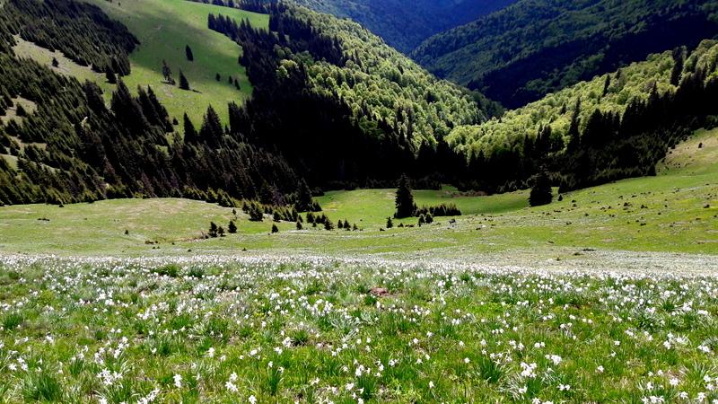 Poiana cu narcise Muntele Saca (c) PeisajeleCalatorului